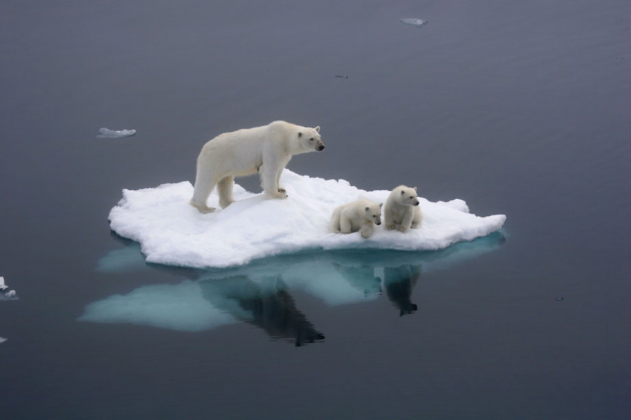 The artic threatens polar bear existence